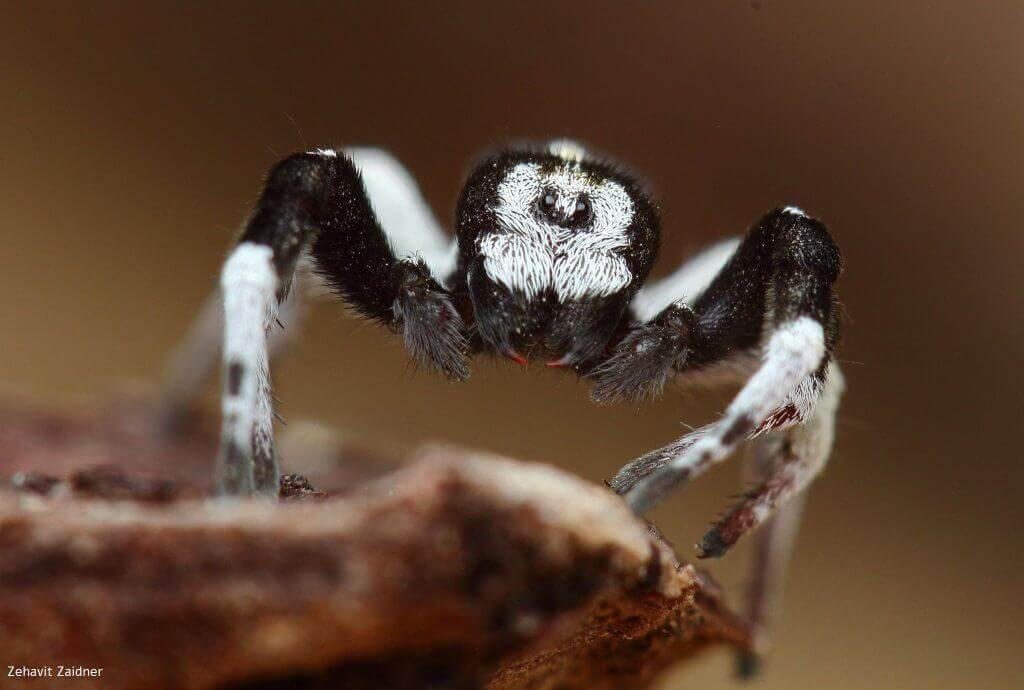 עכביש ממשפחת הסרבולניים